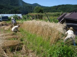2010-7-19黒小麦