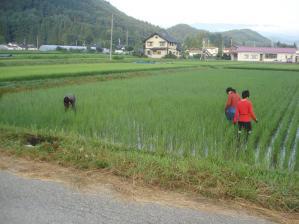 2010-7-25田んぼ
