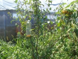 2010-8-22害虫捕獲わな1