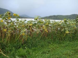 2010-8-22ひまわり1