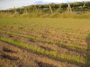 2010-10-7黒小麦2jpg