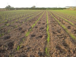 2010-10-7黒小麦4jpg