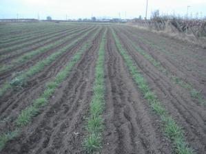 2010-11-5ライ麦