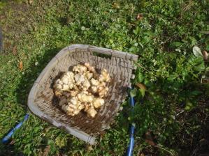 2010-11-17菊芋3