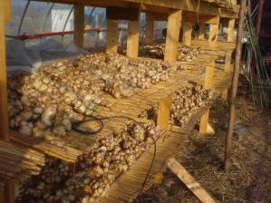 2010-11-17菊芋4