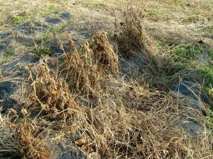 2010-12-15小粒千石黒豆