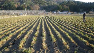 2011-4-3黒小麦