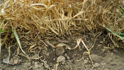 2011-4-11黒小麦