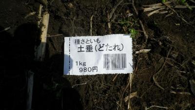 2011-4-15種芋植え付け