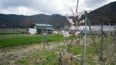 2011-4-19アーモンド