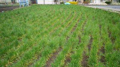 2011-4-20南部小麦