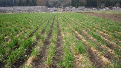 2011-4-22黒小麦