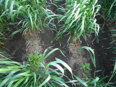 2011-5-13黒小麦2
