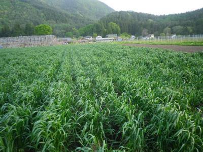 2011-5-13黒小麦