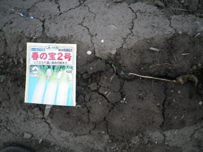 2011-5-16春蒔き大根