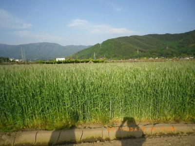 2011-5-19ライ麦