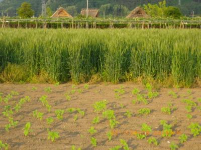 2011-6-6黒小麦1
