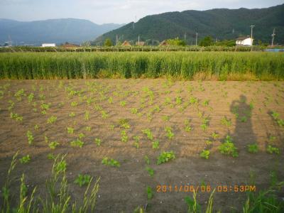 2011-6-6黒小麦