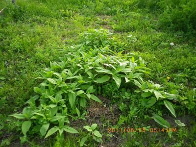 2011-6-6菊芋