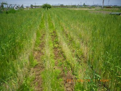 2011-6-8肥やし撒き・スペルト麦