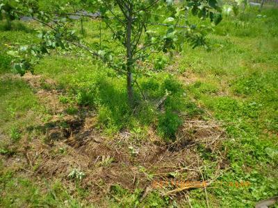 2011-6-8肥やし撒き・りんご