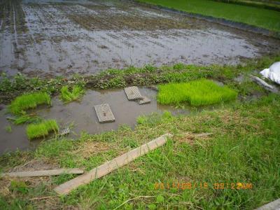 2011-6-15田んぼ田植え