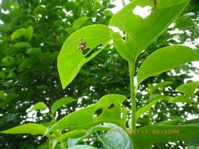 2011-6-17柿