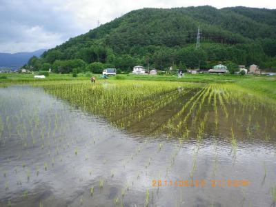 2011-6-23田んぼ