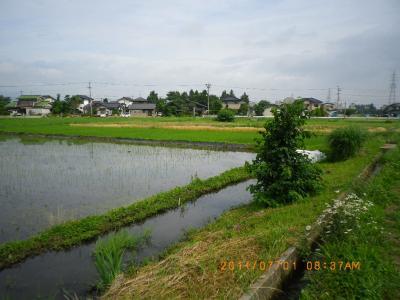 2011-7-1たんぼ