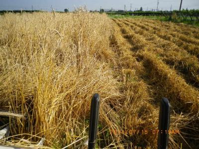 2011-7-15ライ麦