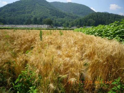 2011-7-14黒小麦1