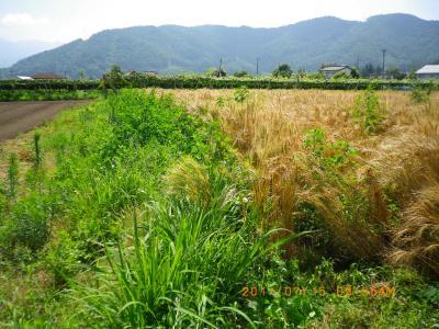 2011-7-14黒小麦