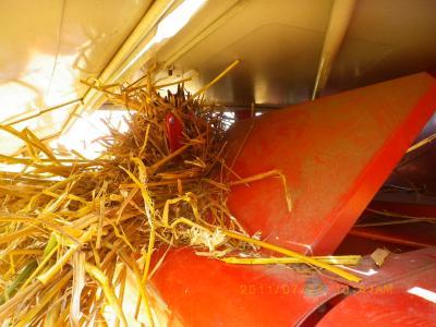 2011-7-17黒小麦