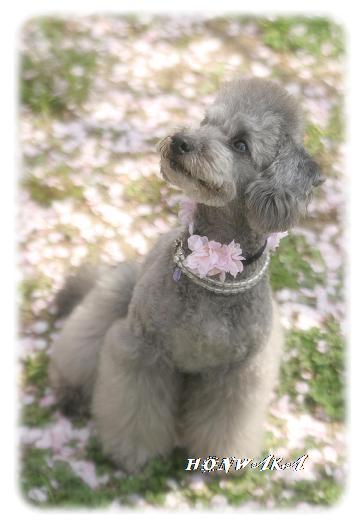 まぁちゃん桜