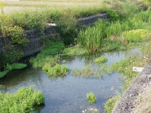 kiku2001.jpg