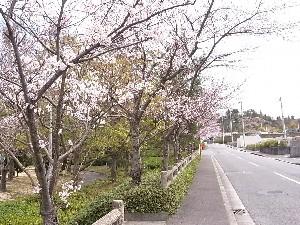 sakura_20110407152314.jpg