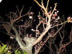 梅の花09・2・12