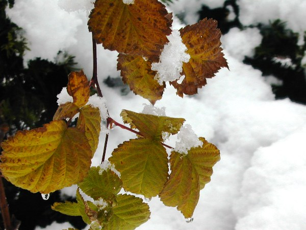 P1010062雪とラズベリー
