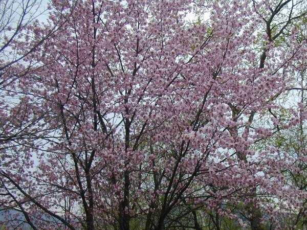P1010003桜咲く満開_convert_20100519232544
