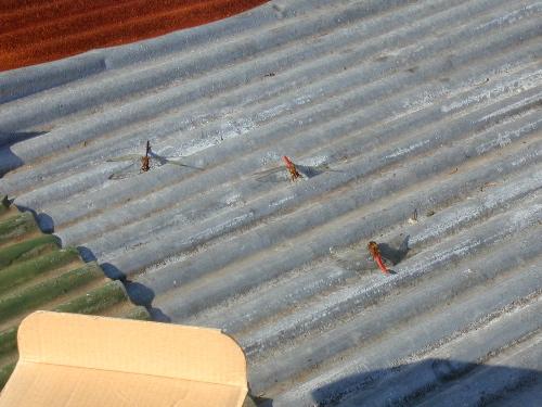 屋根の上のトンホ?