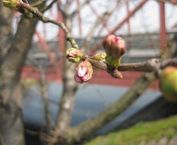 桜・・・もうすぐ♪