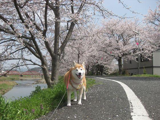 桜を眺めて散歩しま~す
