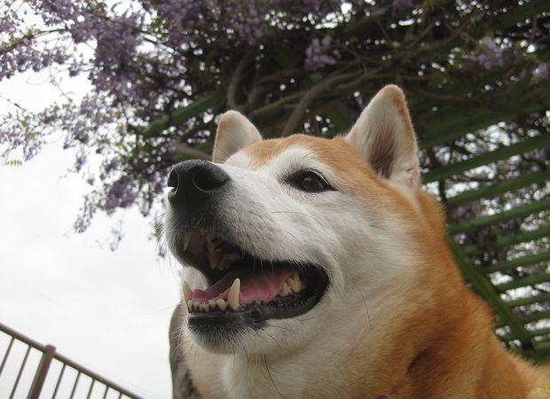 桜の次は藤だワン!