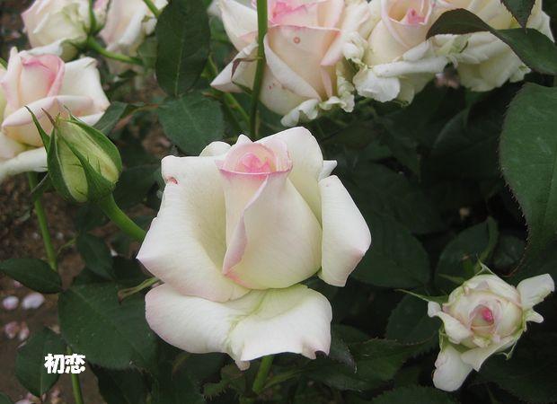 1994年日本 中心に僅かにさしたピンクが初々しい印象です。別名ケイハピプ
