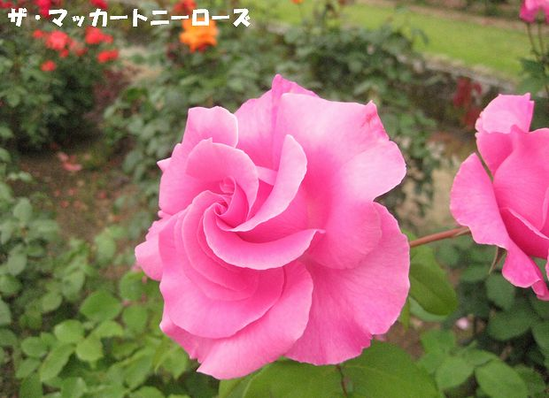 1991年フランス 元ビートルズのポール・マッカートニー氏に捧げられた薔薇です。23個もの世界最多のメダルを獲得しています。