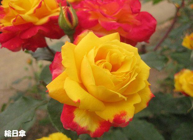 1974年日本 『光る薔薇』の第1号として当時話題を呼びました。.