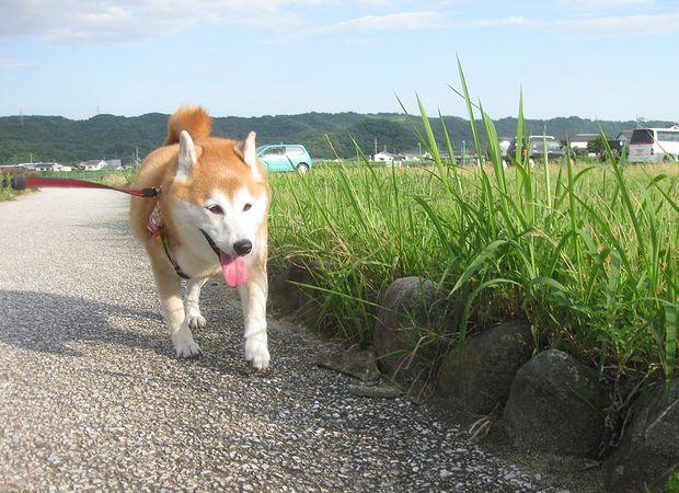 散歩、頑張るわん!