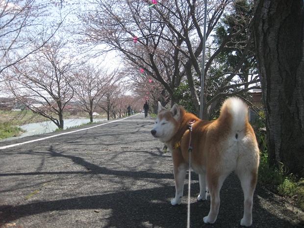 桜・・・咲いてな~い!