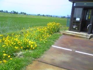 黄色コスモス・玄関前