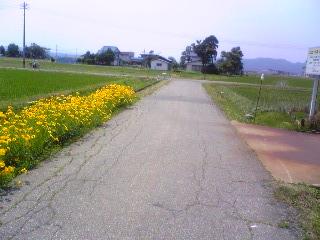 黄色コスモス・看板前